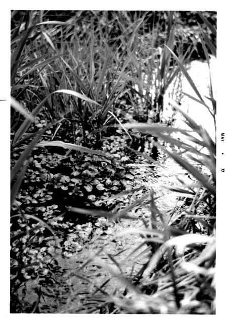 Watercress growing the stream below Coldwater Spring, May 1977. Photo by Bruce White