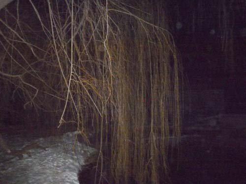 The Willow tree next to the Coldwater Spring basin on a cold January evening, 2010