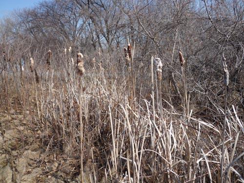 p1020029-bulrushes
